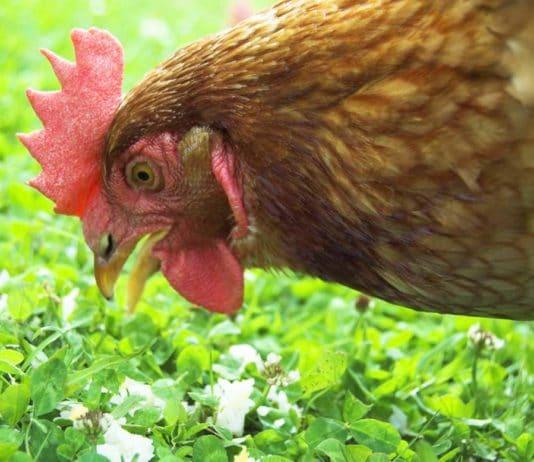 Rimedi naturali per il benessere delle galline | Tuttosullegalline.it