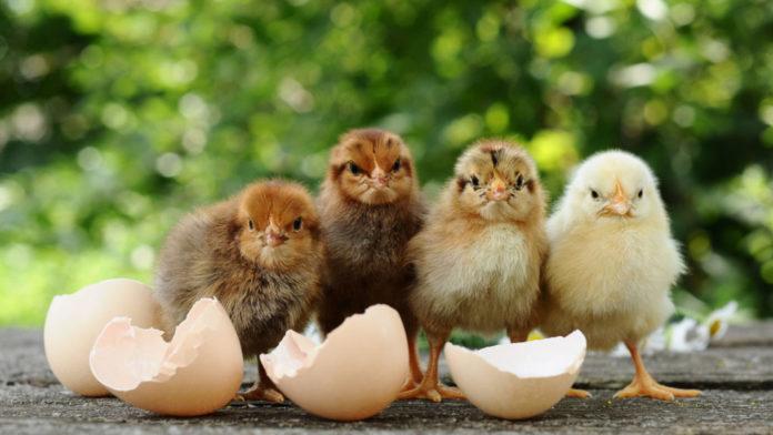 Consanguineità nelle galline: cos'è e perché è utile in un allevamento di selezione | Tuttosullegalline.it