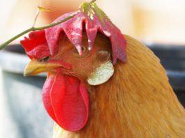 La bionda piemontese, razza avicola tipica delle cascine | Tuttosullegalline.it