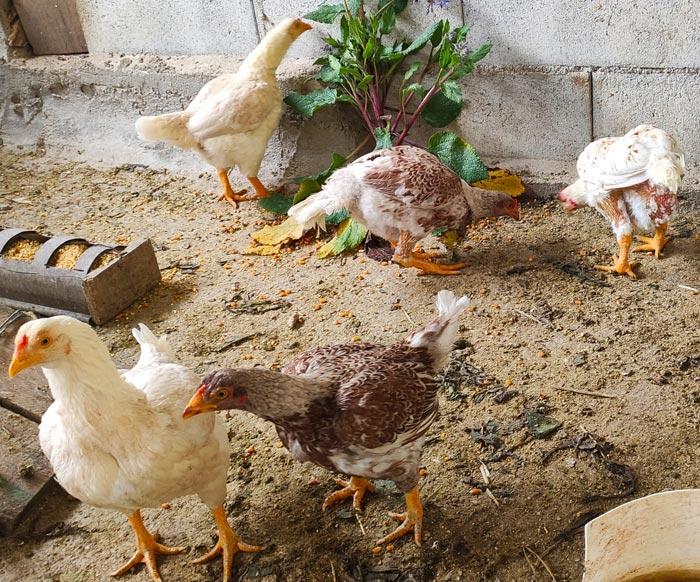 Avicoli ornamentali e ibridi (a Salerno) | Allevamento amatoriale di Cemani, La Fleche, Appenzeller, Faverolass