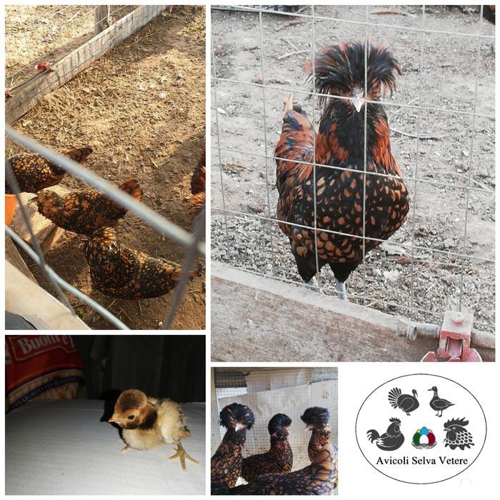 Avicoli Selva Vetere (Latina) | Allevamento avicolo amatoriale di Legbar, Marans, Padovana, Araucana