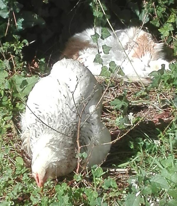 Allevamento avicolo amatoriale Il Puio