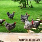 Il Pollaio di Casetta Rossa | Allevamento amatoriale Amrock