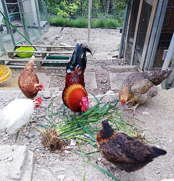 Gallo e galline mangiano erba fresca | Allevamento avicolo Sa Coconedda