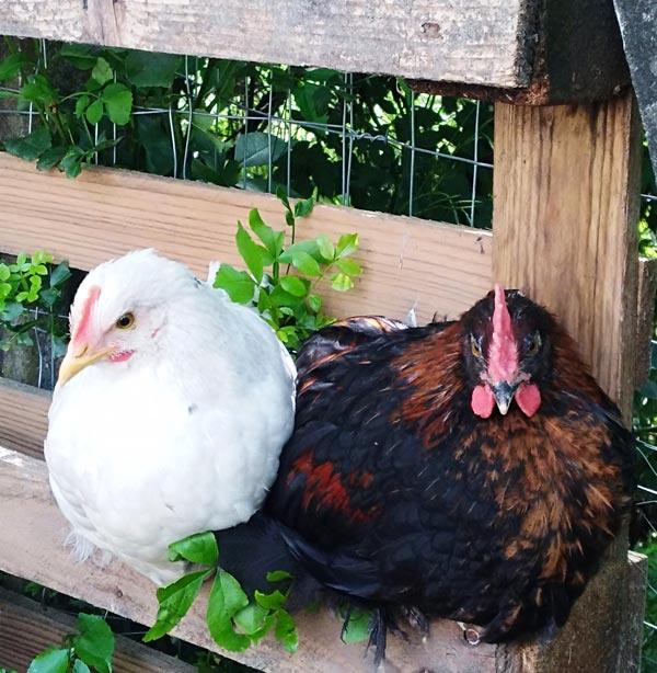Galline accovacciate vicine | Allevamento avicolo Sa Coconedda
