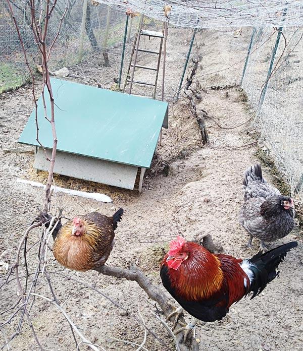 Gallo e gallina sull'albero | Allevamento avicolo Sa Coconedda