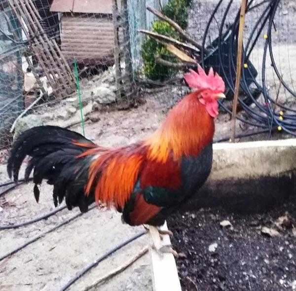 Galletto americanino | Allevamento avicolo Sa Coconedda