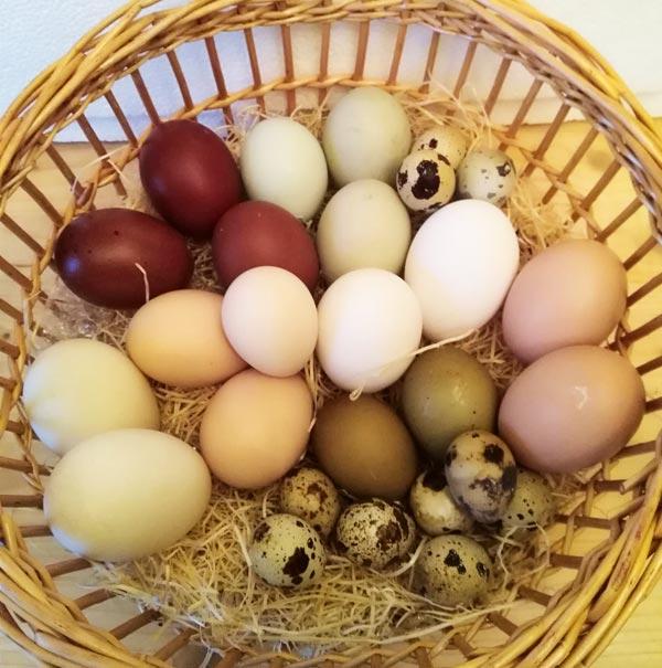 Uova di gallina dai gusci colorati | Allevamento avicolo Sa Coconedda