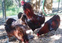 Allevamento avicolo Sa Coconedda | Pavia, Lombardia