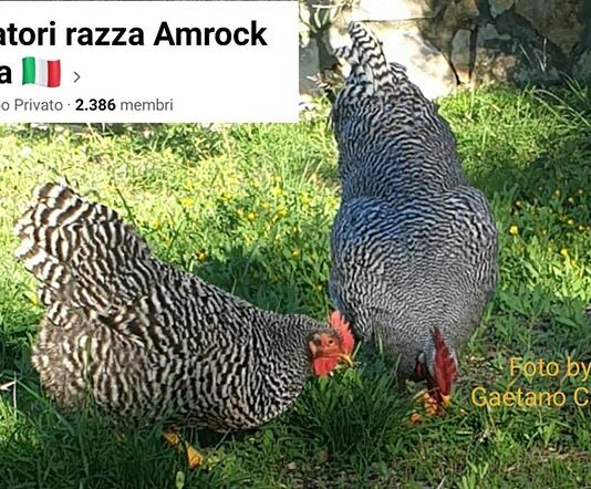 Amatori Razza Amrock Italia