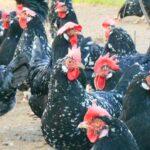Allevamento galline razza Ancona - Cascina del Vento (Alessandria)