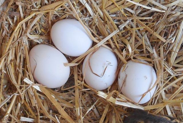 Uova guscio bianco razza Ancona deposte nel nido del pollaio