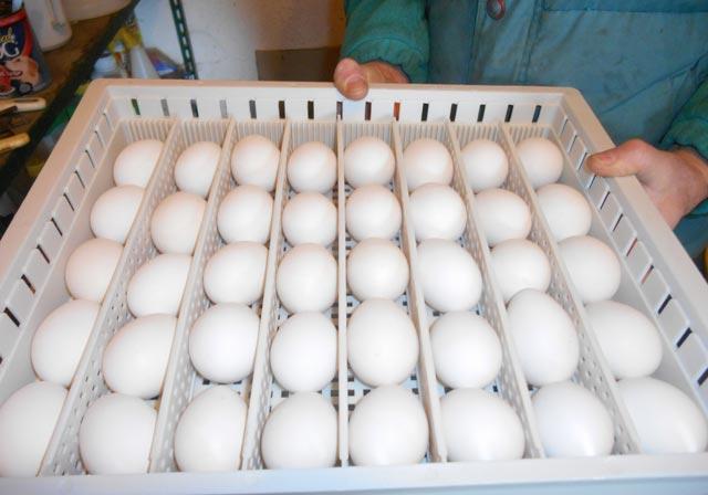 Uova guscio bianco razza Ancona